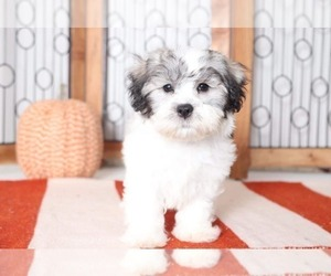 Zuchon Puppy for Sale in NAPLES, Florida USA