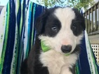 Border Collie Puppy For Sale in QUARRYVILLE, PA, USA