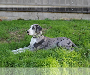 Great Dane Dogs for adoption in SCARBRO, WV, USA