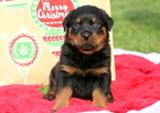 Rottweiler Puppy For Sale in MOUNT JOY, PA,