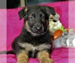 German Shepherd Dog Puppy For Sale in OCALA, FL, USA