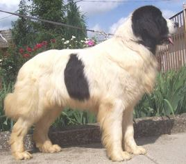 Father of the Newfoundland puppies born on 08/01/2016
