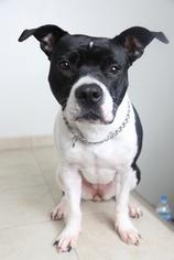 American Pit Bull Terrier Mix Dog For Adoption in Eden Prairie, MN