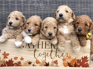 Goldendoodle Puppy For Sale in LEXINGTON, SC, USA