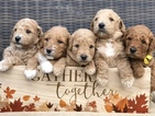 Goldendoodle Puppy For Sale in LEXINGTON, SC, USA