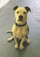 American Pit Bull Terrier Dog For Adoption in ELLIJAY, GA, USA