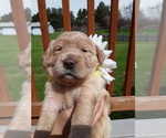 Puppy 4 Goldendoodle-Labrador Retriever Mix