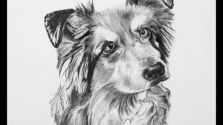 Australian Shepherd Dog For Adoption in SAN DIEGO, CA, USA