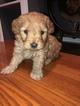 Goldendoodle (Miniature) Puppy For Sale in OREGON, IL, USA