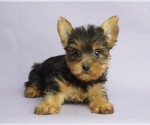 Puppy 3 Yorkshire Terrier