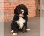 Small Photo #3 Bernedoodle Puppy For Sale in NARVON, PA, USA