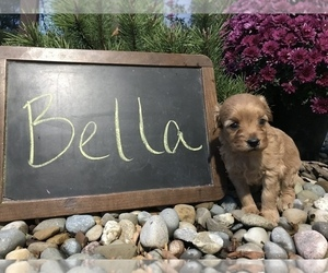 Goldendoodle (Miniature) Puppy for sale in ARCOLA, IL, USA