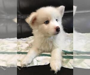 Pomsky Puppy for sale in CORAL GABLES, FL, USA