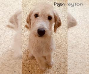 Labradoodle Puppy for sale in SAN ANTONIO, TX, USA
