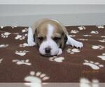 Puppy 6 Beagle