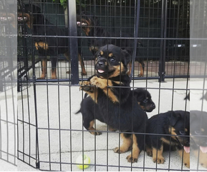 Rottweiler Puppy for sale in BERWYN, IL, USA