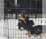 Rottweiler Puppy For Sale in BERWYN, IL, USA