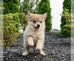 Puppy 6 Pomeranian-Pomsky Mix