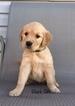 Golden Retriever Puppy For Sale in ALLIANCE, NE,
