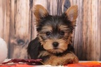 Winnie Beautiful Little Female Yorkie Puppy