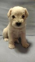 Schnauzer (Miniature) Puppy For Sale in LYNCHBURG, VA, USA