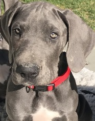 Great Dane Puppy For Sale in LIVERMORE, CA, USA