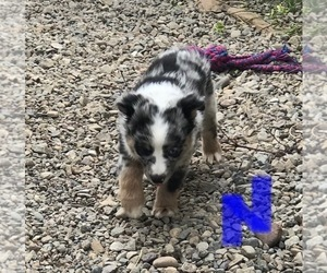 Miniature Australian Shepherd Puppy for Sale in NATURITA, Colorado USA