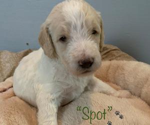Double Doodle Puppy for Sale in COALPORT, Pennsylvania USA
