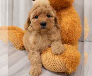 Goldendoodle-Poodle (Miniature) Mix Puppy for sale in DONNELLSON, IA, USA