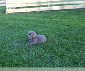 Labrador Retriever Puppy for sale in ASHLAND, OH, USA