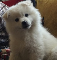 American Eskimo Dog Puppy For Sale in SHINGLE SPRINGS, CA