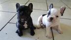 French Bulldog Puppy For Sale in POMONA, CA
