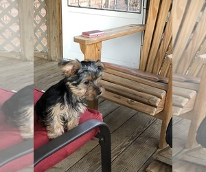Yorkshire Terrier Puppy for sale in LONDON, KY, USA