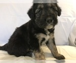 Bordoodle Puppy For Sale in BOISE, ID, USA