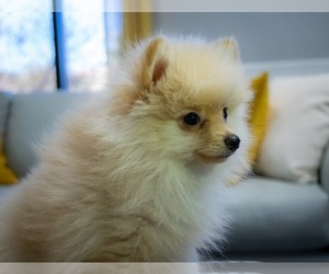 Pomeranian Puppies for Sale near Seattle, Washington, USA