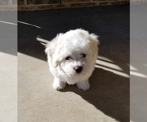 Bichon Frise Puppy for Sale in FORT WORTH, Texas USA