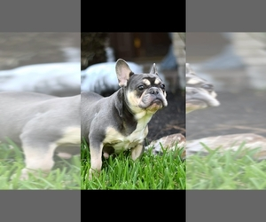 Mother of the French Bulldog puppies born on 07/05/2020