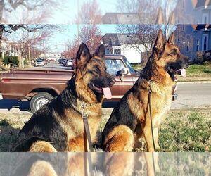 German Shepherd Dog Puppy for Sale in LOUISVILLE, Kentucky USA