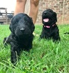 Goldendoodle Puppy For Sale in MOUNT JULIET, TN,