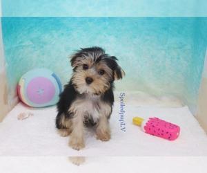 Puppies for Sale near Las Vegas, Nevada, USA, Page 1 (10 per
