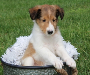 Shetland Sheepdog Puppy for sale in HOST, PA, USA