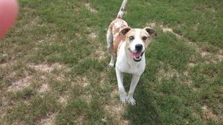 Zeus - Cattle Dog / Hound / Mixed Dog For Adoption