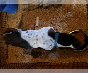 Father of the Basset Hound puppies born on 10/01/2020