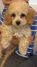 Maltipoo Puppy for sale in TORRANCE, CA, USA
