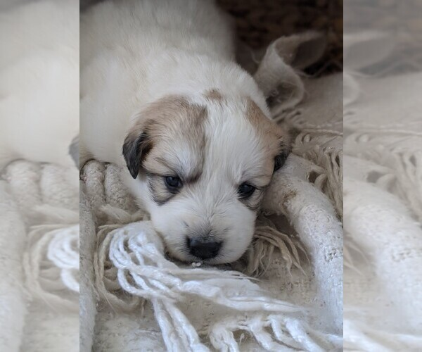 Medium Photo #90 Great Pyrenees Puppy For Sale in FALCON, CO, USA