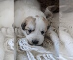 Small #89 Great Pyrenees