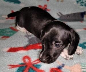 Dachshund Dog for Adoption in ELLIJAY, Georgia USA