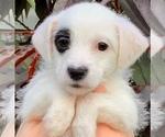 Puppy 5 Jack-A-Poo