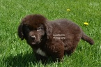 Newfoundland Puppy For Sale in MILLERSBURG, IN, USA