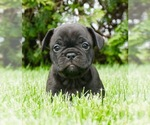 Puppy 12 French Bulldog